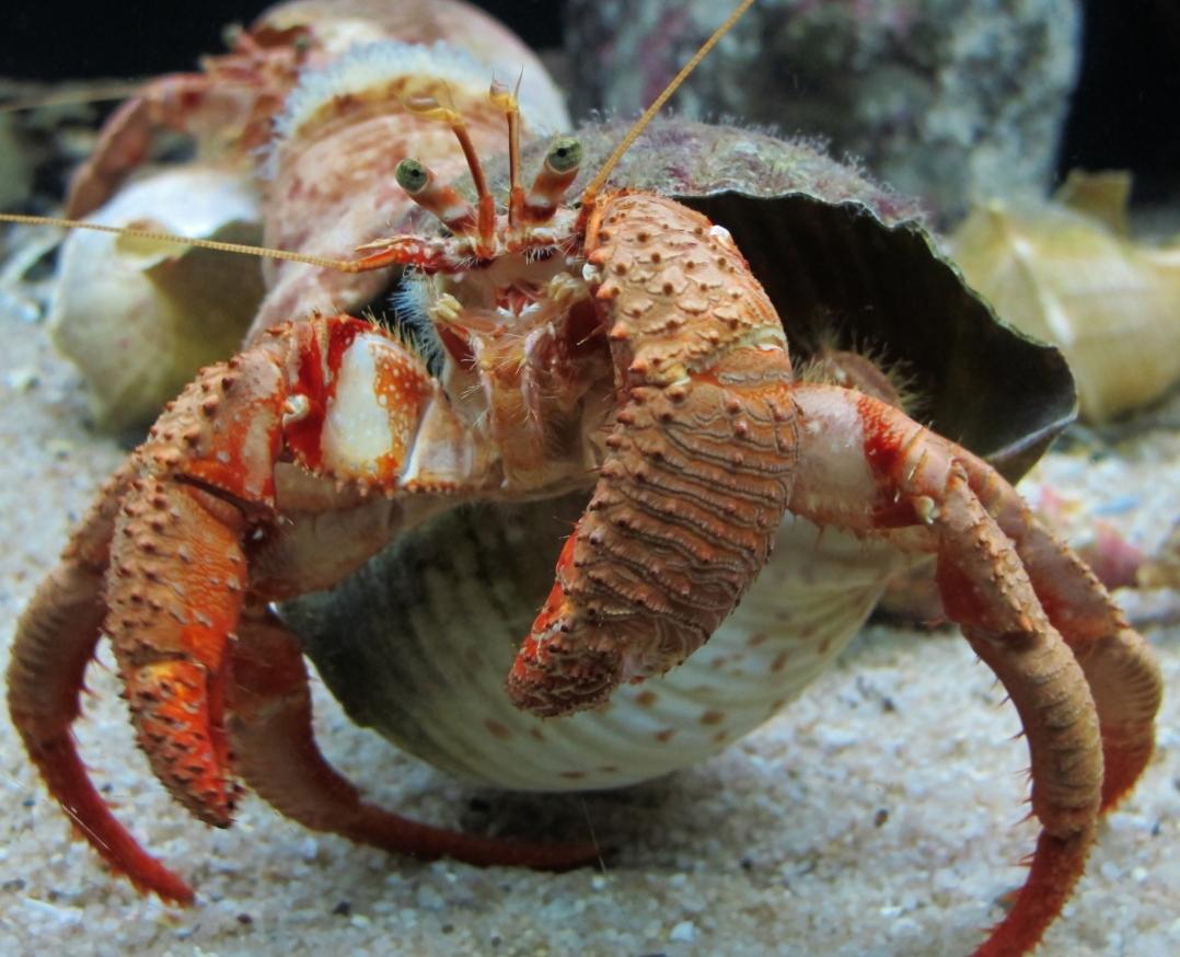 36-crab