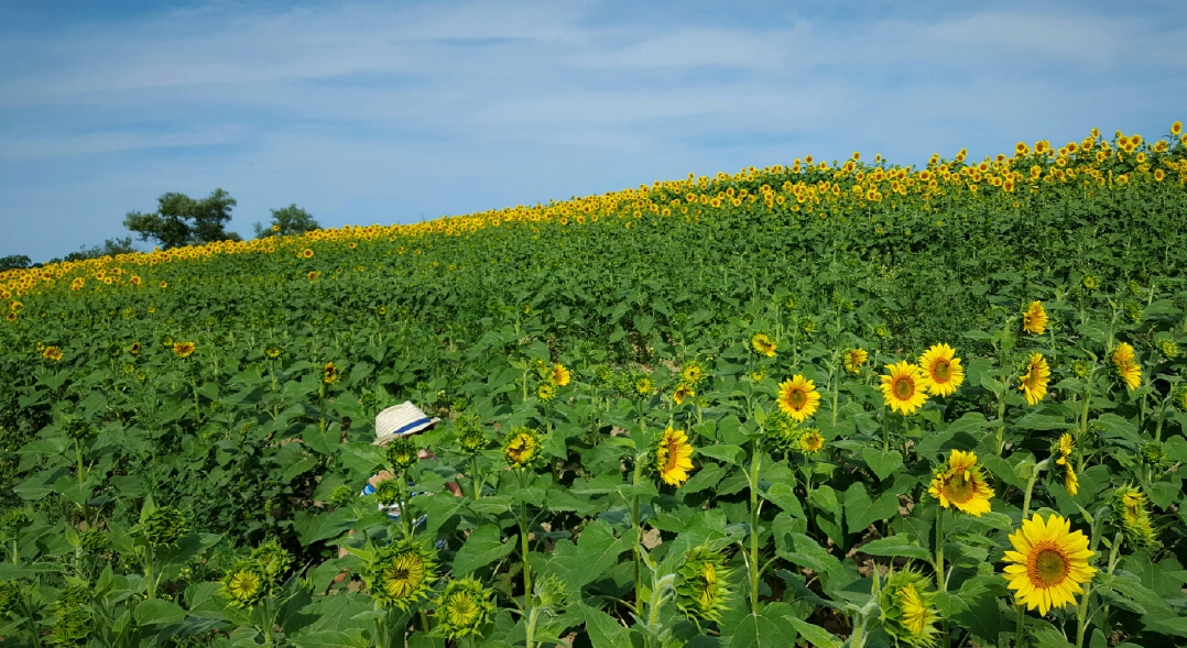 sunflower-fields-2