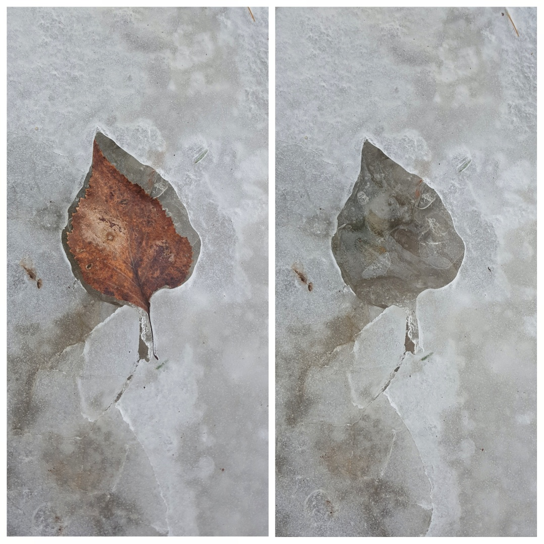 Ice leaf prints (4)