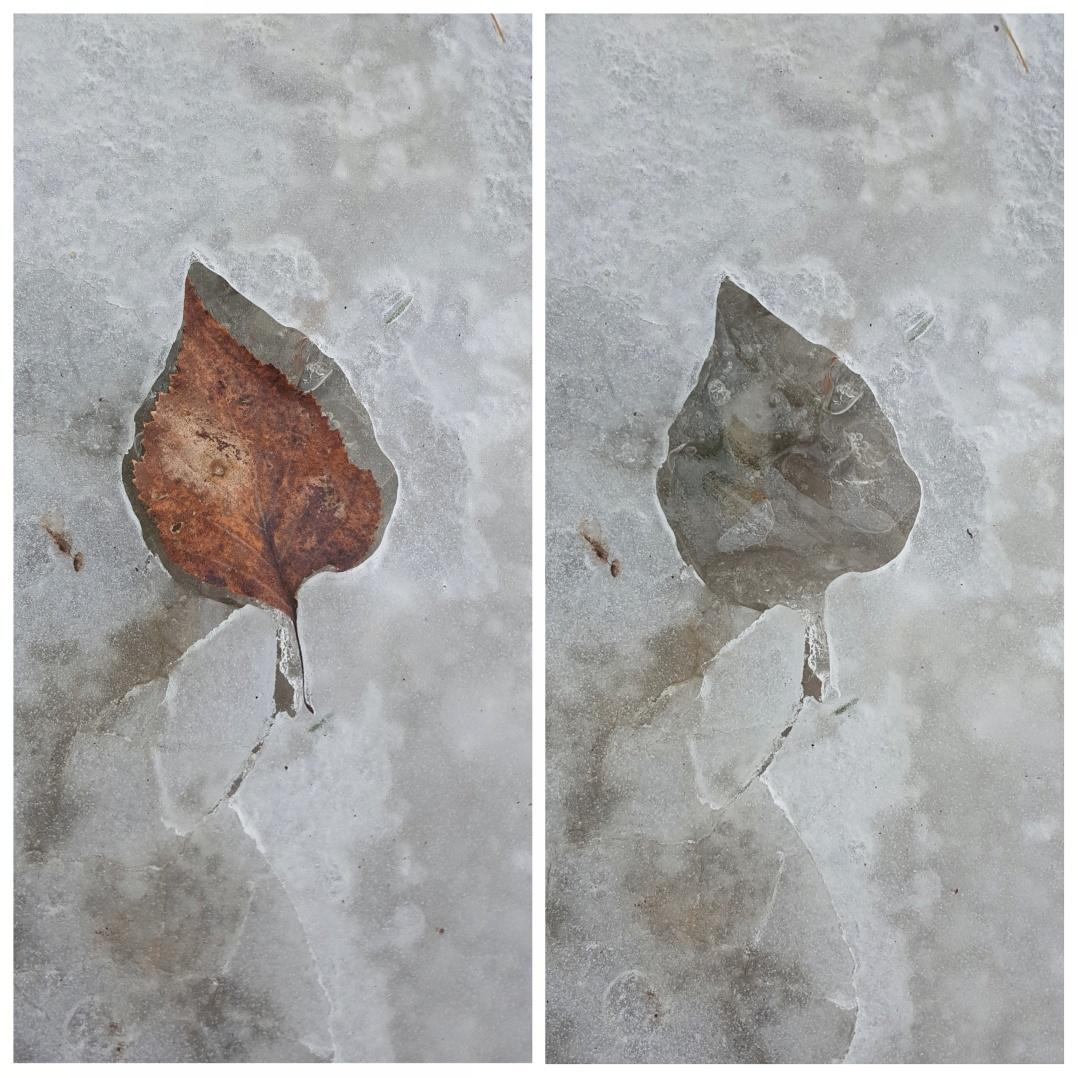 Ice leaf prints (4)