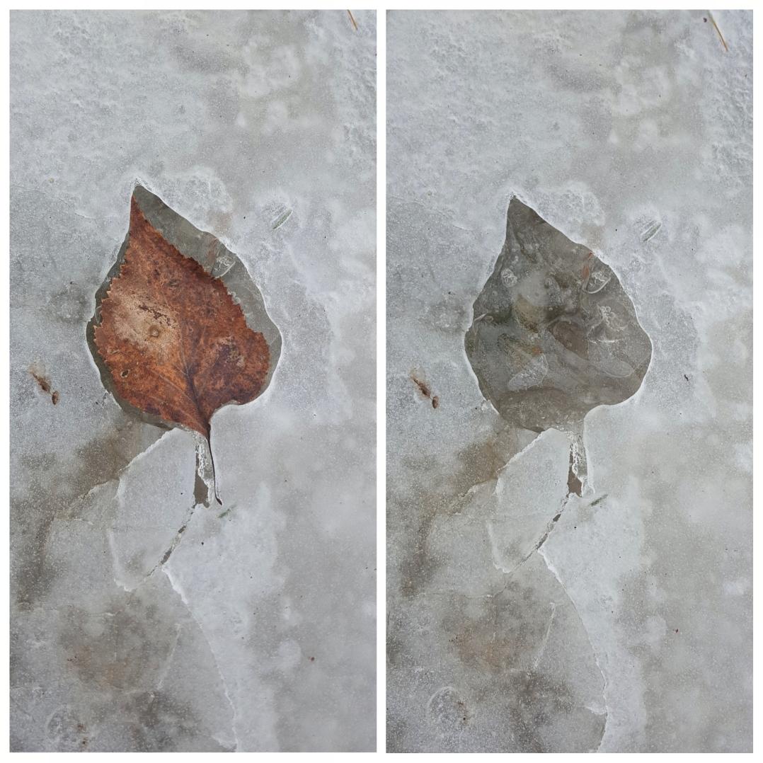 Ice leaf prints (8)
